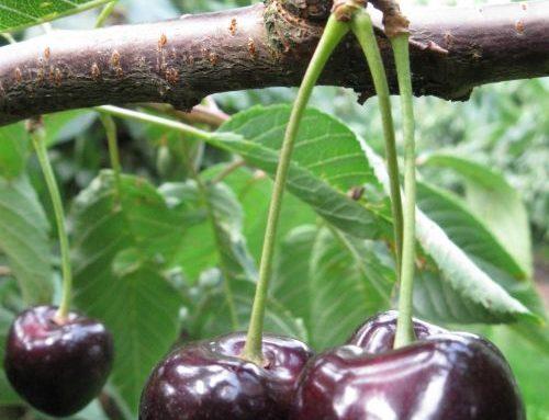 Zijn kersen gezond? De Fruitteler geeft antwoord